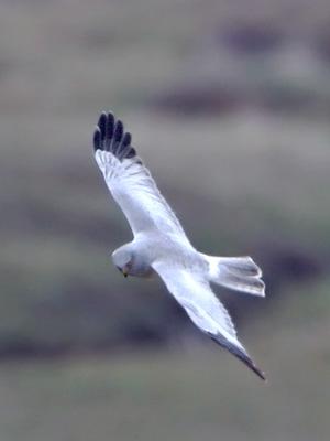 Flying-Male-hen