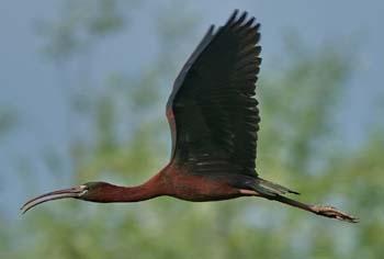glos ibis