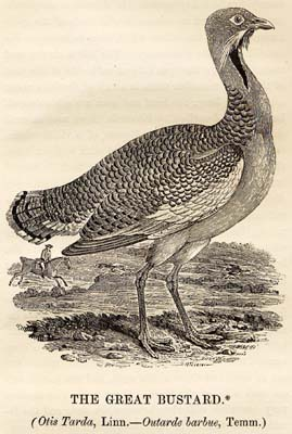 Great_Bustard_woodcut_in_Bewick_British_Birds_1797