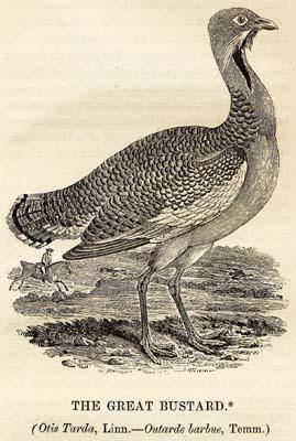 Great_Bustard_woodcut_in_Bewick_British_Birds_1797
