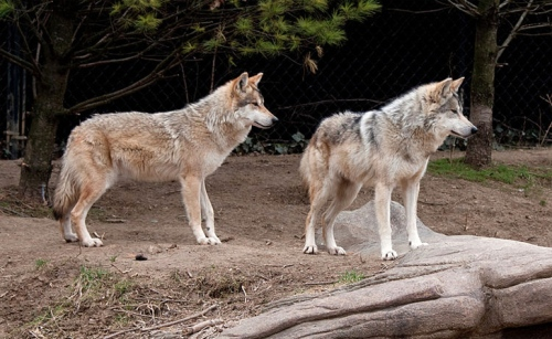 pair-of-mexican-wolves